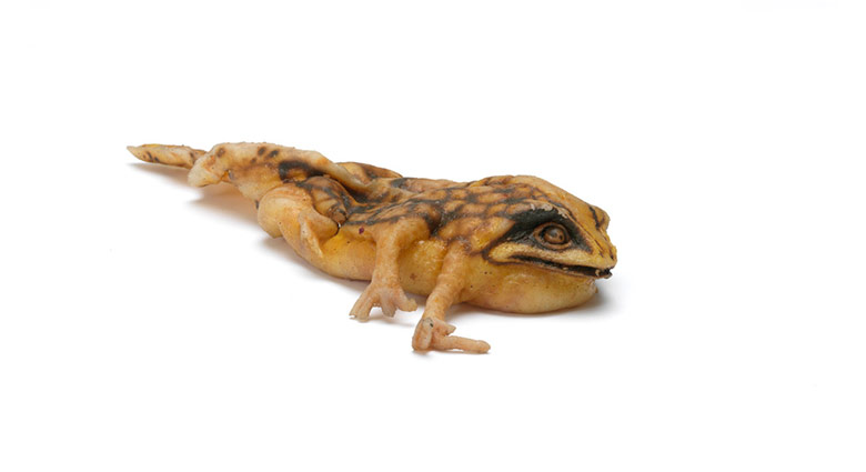A spotted mutant amphibian creature used as a prop in eXistenZ.